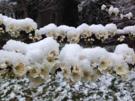 plum blossom with snow